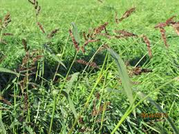 Image result for rice cut grass