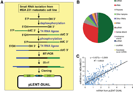 Generation Of A Small Rna Library From Mda Mb 231 Clone