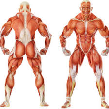 Major Muscle Groups Guide Weight Lifting Complete