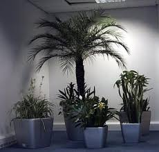 office plant displays. Live Dracaena Compacta Display, Plant Displays Office