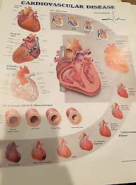 Anatomy Of The Heart Chart Cardiovascular Disease Cardiology Anatomy Poster