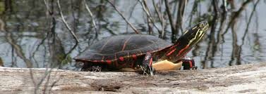 Midland Painted Turtle Species Information Ontario Nature