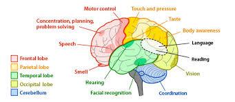 Brain Waves Frequency Chart Google Search Brain Lobes