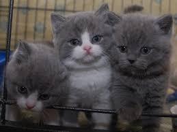 british shorthair kittens singapore