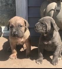 cane corso puppies iccf akc chion bloodlines