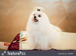 Picture Of Cute Shih Tzu White Toy Dog