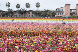 flower fields california ranunculus workers