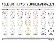 20 Amino Acids Chart Pdf 20 Common Amino Acids Png A Guide To The Twenty Common