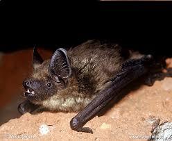 Výsledek obrázku pro netopýr