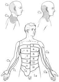 Dermatome Anatomy Wikipedia