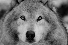 wolf face black and white. Simple Black Wolf Photograph  Face By Shelby Brower On Black And White E