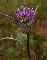 Notobasis syriaca (L.) Cass. | Flora of Israel Online