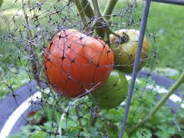 container gardening tomatoes. Brilliant Container How To Grow Tomatoes In Pots Bird Netting Around Fruit With Container Gardening T