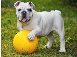 Olde English Bulldogge Puppy Weight Chart English Bulldog Trupanion Breed Guide