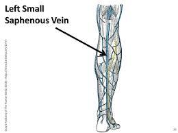 Left Small Saphenous Vein The Anatomy Of The Veins Visua