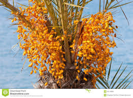 Date Palm Tree With Unripe Colorful Fruit Clusters Royalty Free Palm Tree Orange Fruit