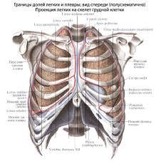Легкие человека Анатомия Легких строение функции картинки на  В