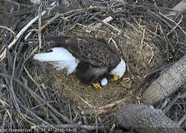 eagles nest size famous bald eagle pair mr president the first lady welcome first
