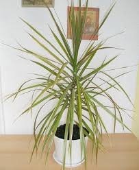 red edged dracaena dracaena marginata cleans air