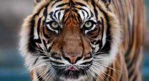 images of tigers. Contemporary Tigers The Tiger Is The Largest Member Of Felid Cat Family They Sport Long  Thick Reddish Coats With White Bellies And Black Tails Inside Images Of Tigers I