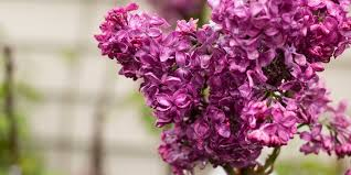 lilac monge
