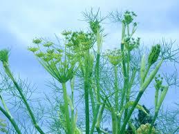 Growing Fennel Herb: Fennel Plants In The Garden