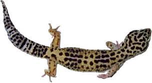 Leopard Gecko Age Chart Talk Common Leopard Gecko Wikipedia