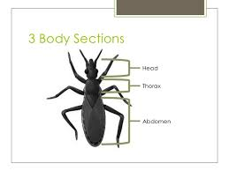 Image result for insect sections