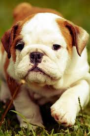 baby english bulldog wallpaper. Brilliant Wallpaper Animals For Cellphone Wallpapers For Baby English Bulldog Wallpaper E