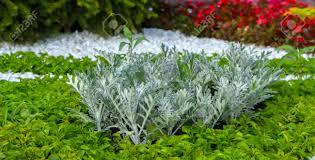 Artemisia Landscape Design Swedish Ivy Or Decorative Mint The Use Of Plants In Landscape