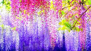 flowers wisteria 1080p 2k 4k 5k hd