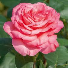 Rosa Panthere Rose ® Meicapinal, rosai a grandi fiori Meilland
