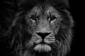black and white lion portrait.  Black Zoom And Black White Lion Portrait