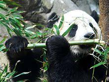 """Résultat de recherche d'images pour """"plusieur pandas qui mange du bambou"""""""
