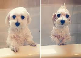 16 funny pictures of slightly angry dogs before and after a bath