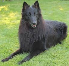 groenendael belgian shepherd dog groenendael