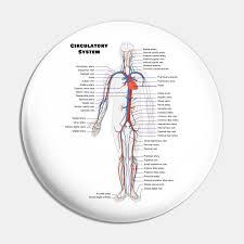 Human Circulatoy System Chart