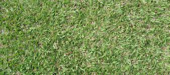 carpet grass. narrow carpet grass a