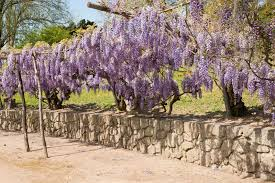 5 Beautiful Climbing Plants For Fences And Walls  Gardening N Diy Climbing Plants For Fence