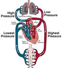 wellsgrade circulatory system essay external image circulatory system jpg