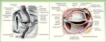 Eyelid Anatomy Figure 1 From Oncologic Surgery Of The Eyelid And Orbital Region