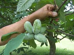 How To Grow Muscadine Grapes  Howtos  DIYFruit Trees That Grow In Nc