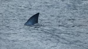 Resultado de imagem para barbatana de tubarão