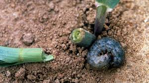 Prevent Black Cutworms From Burying Your Vegetable Plantings