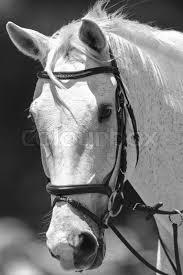 white horse head. Modren Horse White Horse Head Portrait Of Animal In Black And White Vintage Tone  Stock  Photo Colourbox With Horse Head P
