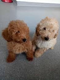 hamilton 2303 toy poodle pups