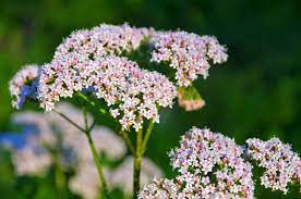 Growing Valerian Herbs - Information On Valerian Herb Uses And Care