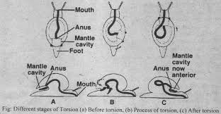 torsion gastropods. advantages of torsion gastropods e