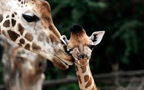 baby animals wallpapers. Unique Animals Pictures Cute Baby Animal Wallpapers And Animals Wallpapers A