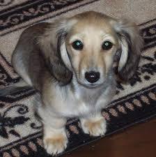 english cream dachshund belle amore